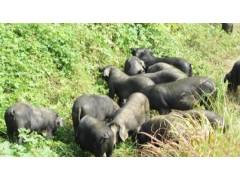 彝族放养黑猪肉,肥而不腻,不爆油